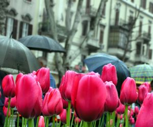 april showers tulips