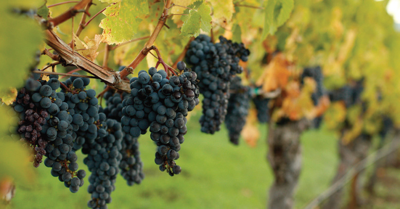 Napa Valley - California's Finest Grapes