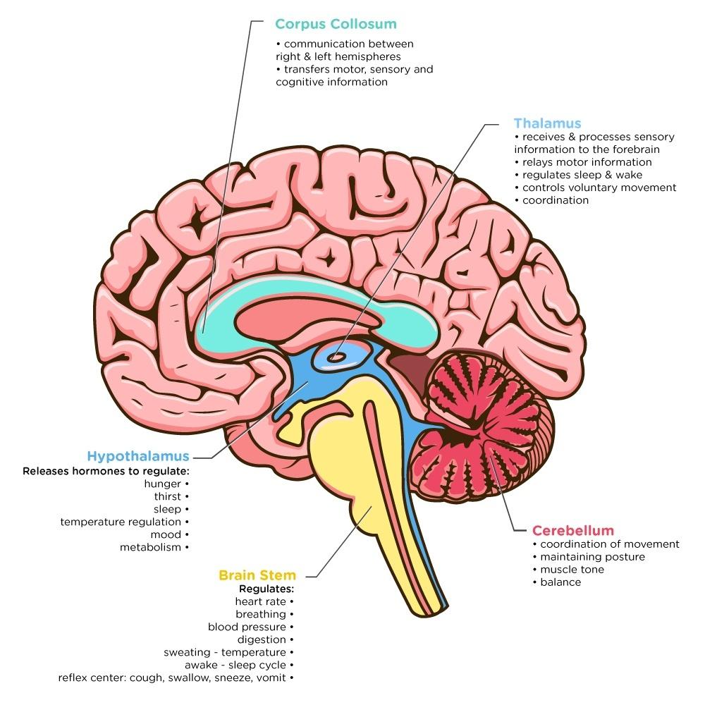Basic Diagram Human Brain Dementia - House Wiring Diagram Symbols •